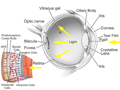 Gross anatomy of the human eye and detail of the retina.