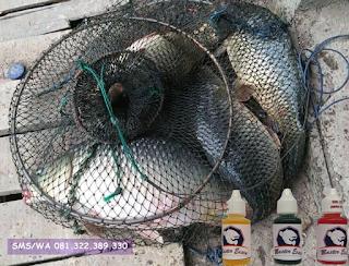 Essen Khusus Ikan Mas Subang
