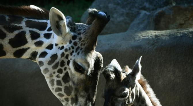 "Wild giraffe numbers have plummeted by 40 percent in the past three decades and the species is now ""vulnerable"" to extinction"