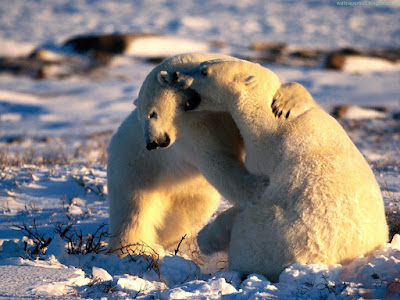 bears normal resolution hd desktop background wallpaper 9