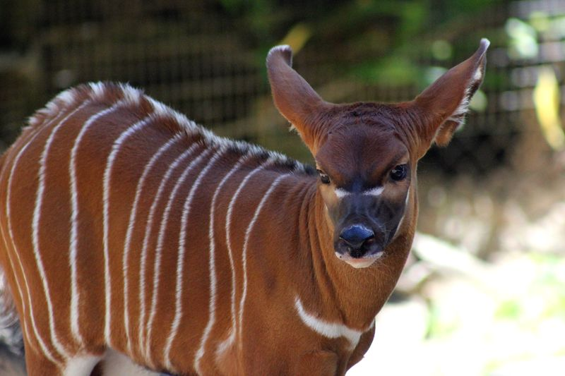 Baby Animals: Sitatunga Calf 10