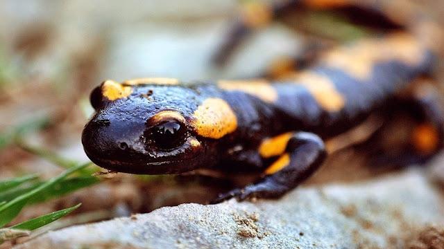 Descubren que los humanos podemos regenerar partes del cuerpo lesionadas de manera similar a las salamandras