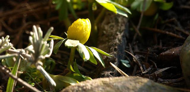Erantis - Årets første blomst i haven