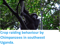 http://sciencythoughts.blogspot.co.uk/2014/11/crop-raiding-behaviour-by-chimpanzees.html