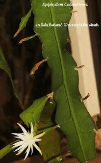 Epiphyllum Columbiense