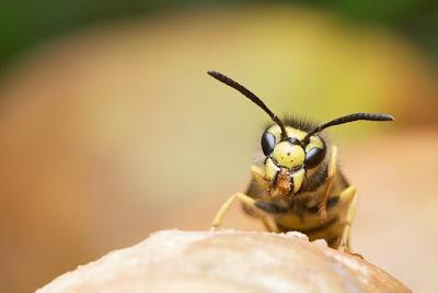 Penanganan Sengatan Lebah