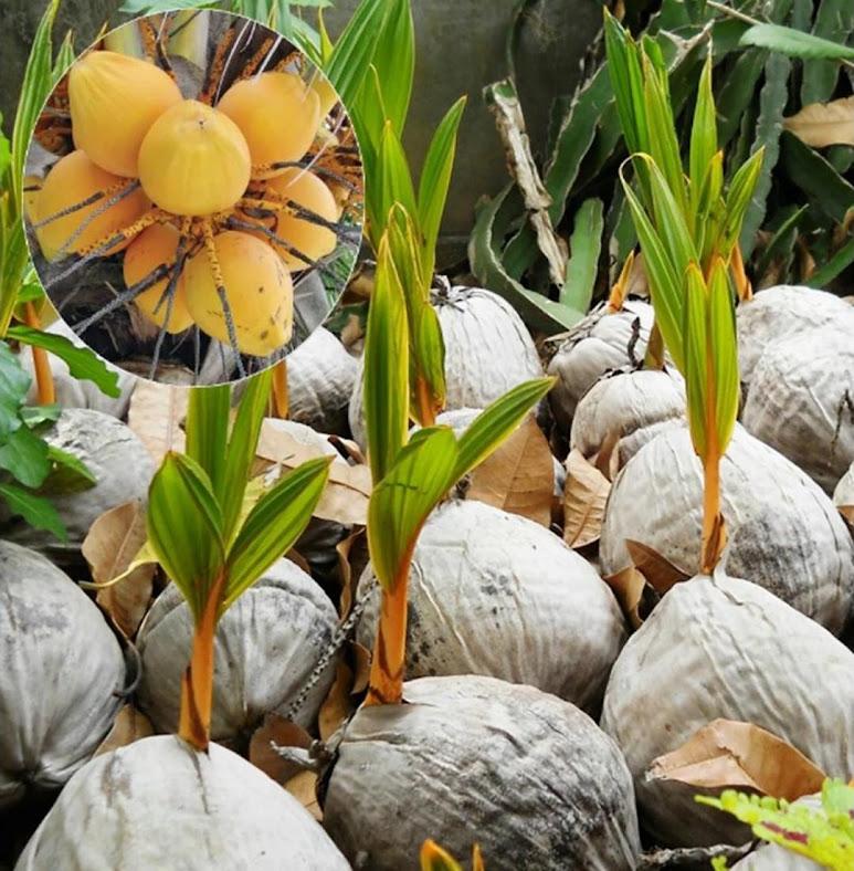 Bibit tanaman pohon kelapa gading ORIGINAL Maluku Utara