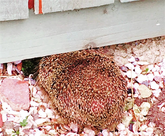 hedgehog uk fence hole
