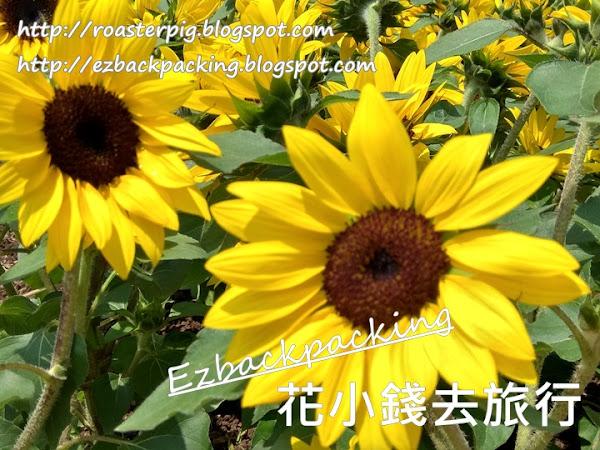 2021年香港向日葵:9月18日太陽花賞花好去處