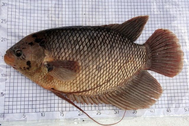 Jenis Ikan Gurame BLUE SAFIR