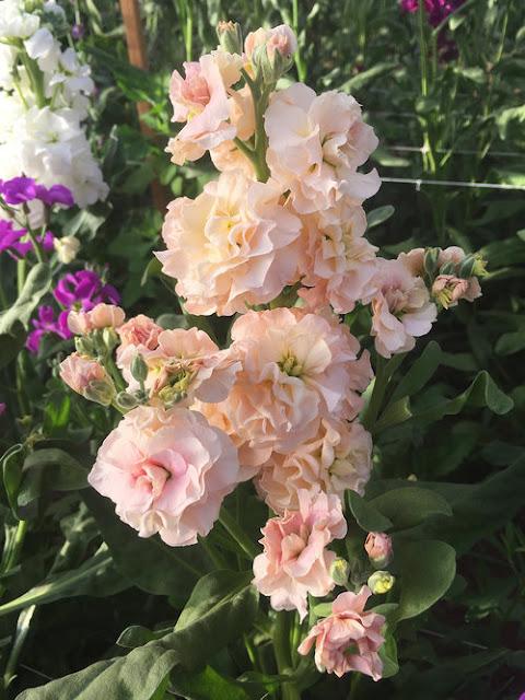 Amazing Cut Flower Varieties