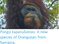 https://sciencythoughts.blogspot.com/2017/11/pongo-tapanuliensis-new-species-of.html
