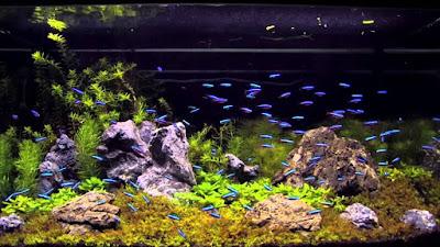 Ikan Neon Aquascape