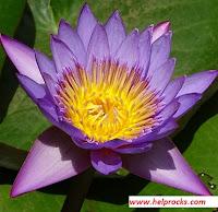 Blue Water Lily ब्लू वाटर लिली
