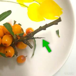 シーベリーの枝のトゲ