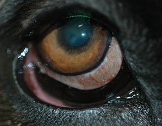 Ektropijum oka psa Panvet dežurna veterinarska stanica Subotica