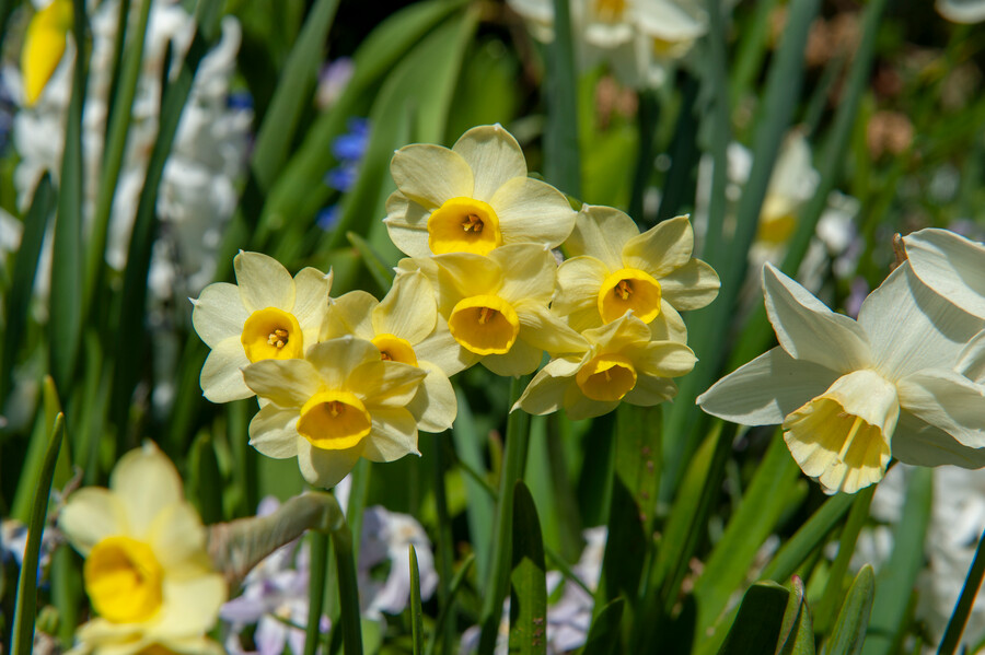 Flores amarillas de narcisos tazetta miniatura