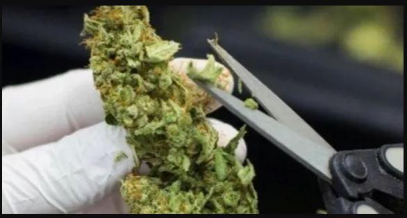 Asapbud cannabis trim service