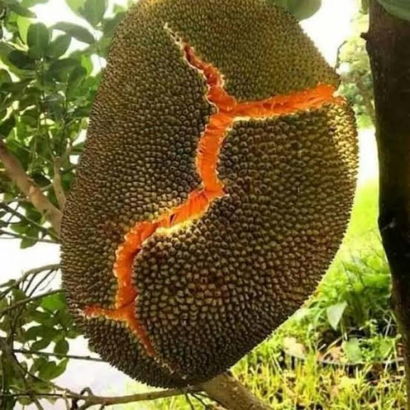 Bibit buah nangka merah Solok