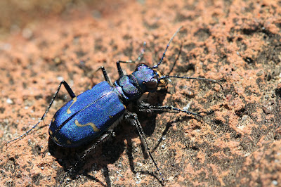 Cicindela depressula – Dispirited Tiger Beetle in Spray Park.