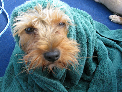 dog wrapped up in a turquoise towel, so you just see the dog's face