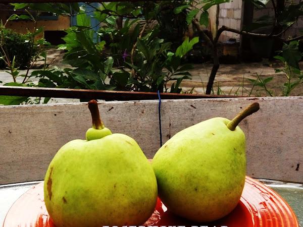 Josephine, Pear Australia yang Manis Nan Legit