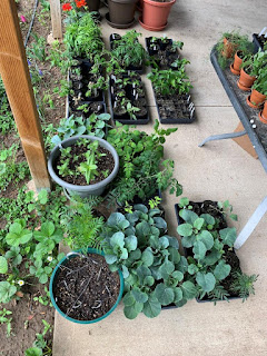 A dozen trays of seedlings on a cement patio