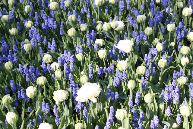 muscari superstar and tulip