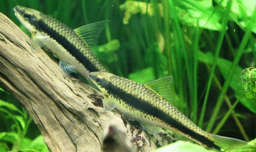 Siamese Algae Eater - Ikan Hias Pemakan Alga