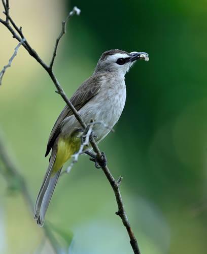Daftar Harga Burung Trucukan Agustus 2018 Update
