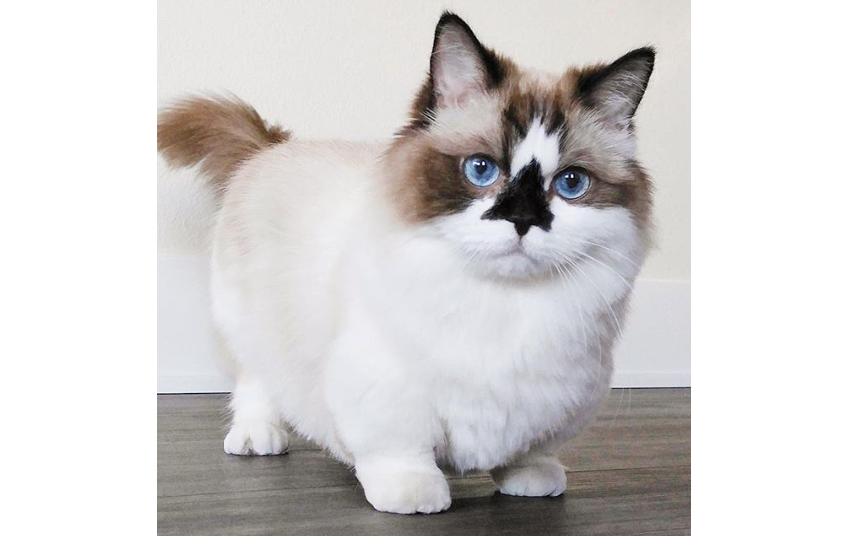 Munchkin Cat Breed Are Short Legged Cats Cute Or Cruel The Pets Dialogue