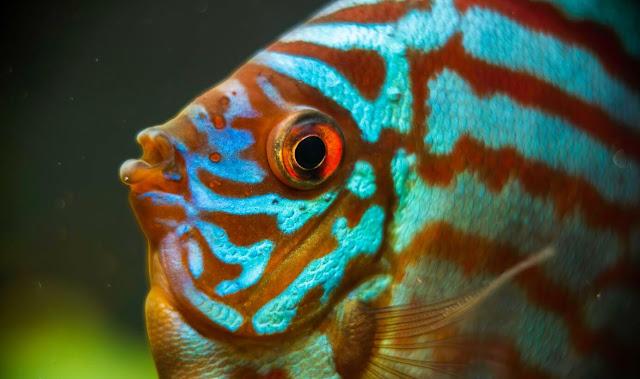 Cara Memelihara Ikan Discus yang Wajib Diketahui