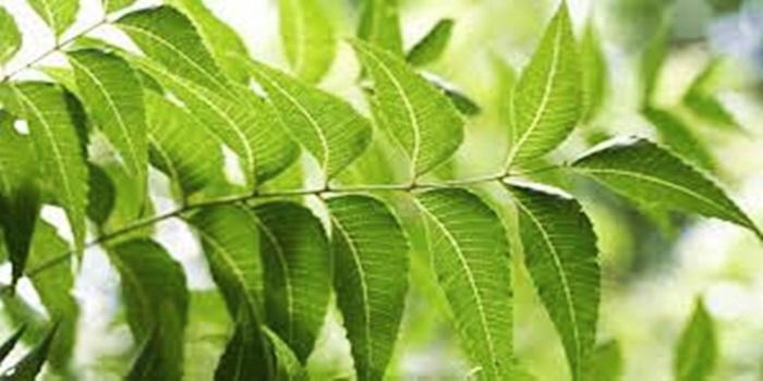 Neem Leaves Benefits in telugu