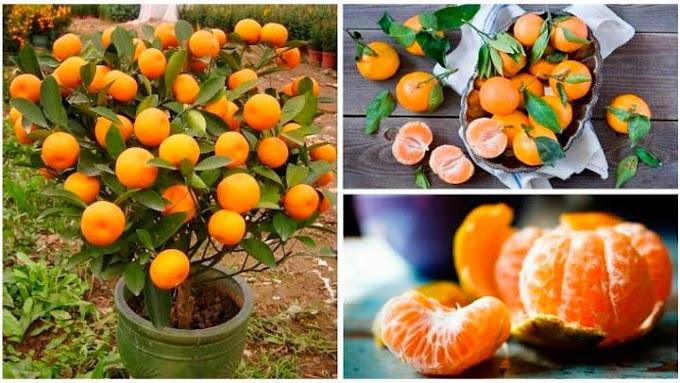 Cómo cultivar mandarinas en casa. Después de leer esto nunca más volveras a comprar mandarinas
