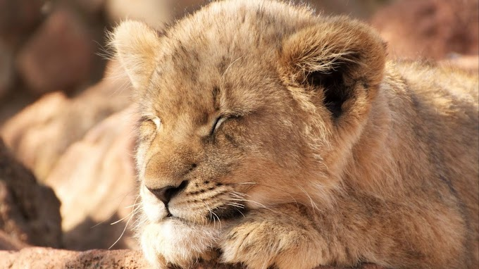 Papel de Parede hd Filhote de Leão Dormindo