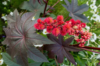 Large purple leaves surround spikey red flowers and red seeds of the Castor Bean plant.
