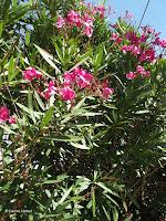Pink flowers, Mount Eden - Auckland, New Zealand