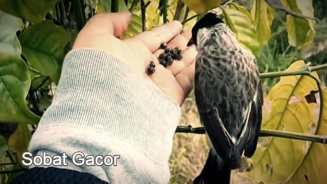 Pakan Burung Kutilang Agar Rajin Bunyi