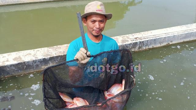 Panen Ikan Nila yang bagus dibutuhkan benih ikan yang baik dan berkualitas