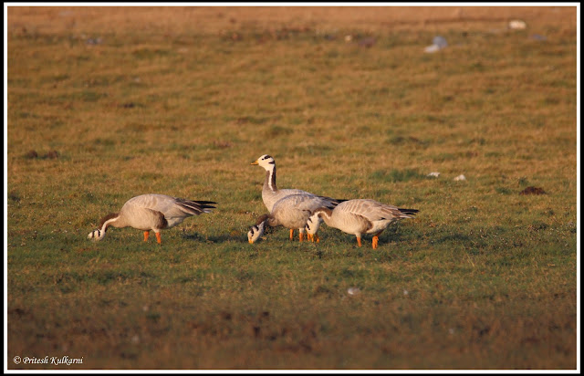 bar headed geese at Bhigwan