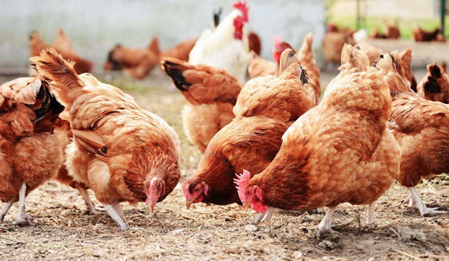 How to Start a Profitable Poultry Business in Nigeria