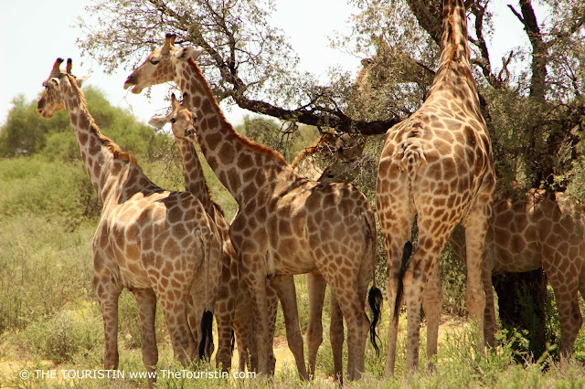 Six Giraffes in the shade of a tree.