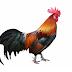 22 Fakta Menarik tentang Ayam