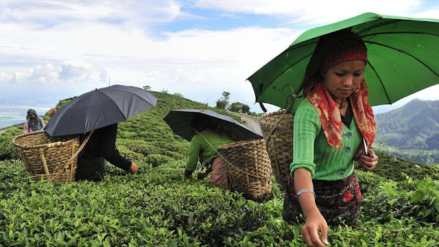 Women plucking tea in Darjeeling