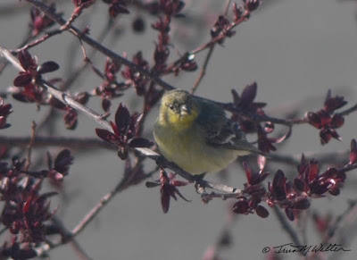 Female Western Tanager in crab-apple tree, photo ©2019 Tina M.Welter