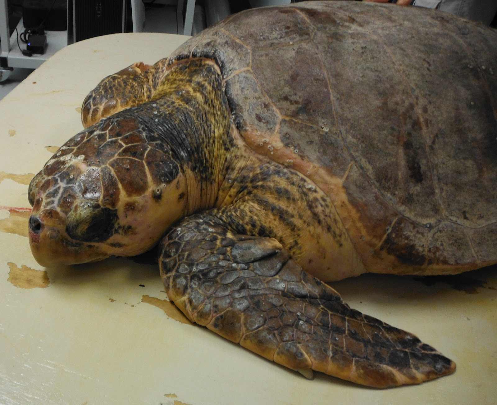 Sea Turtle Hospital 152 Pound Loggerhead Admitted Into