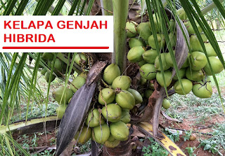 Bibit tanaman unggul - Bibit kelapa hibrida, tanaman kelapa ini termasuk varietas baru mengikuti jenis Dalam dan Genjah. Dikenal dengan sebutan kelapa hibrida karena berasal dari persilangan antara varietas genjah (ibu) dengan varietas dalam (bapak). Kelapa hibrida adalah tanaman kelapa yang paling cocok untuk mengasilkan buah. Berbuah pada masa 3-4 tahun serta tinggi pohon 1 meteran. Maka menanam kelapa hibirda sangat cocok untuk investasi