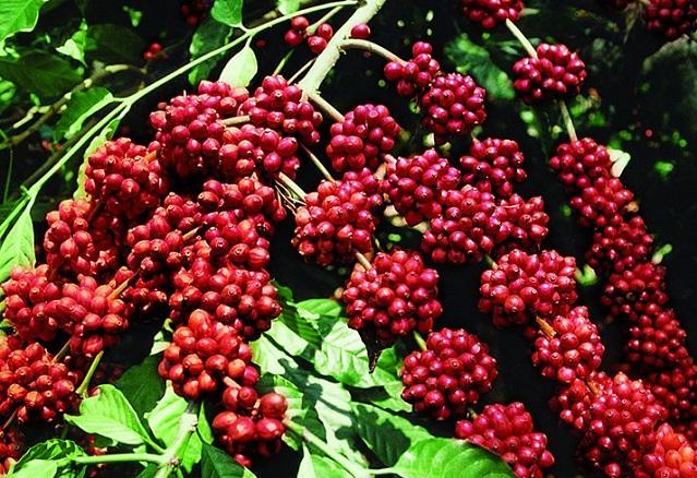 Giá cà phê hôm nay 11/7: Thị trường tăng nhẹ 400 - 500 đồng/kg