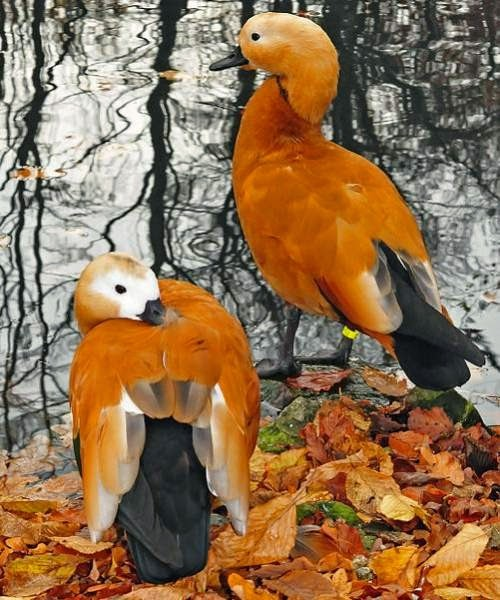 Indian birds - Ruddy shelduck - Tadorna ferruginea