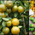 Reasons Why You Should Drink Calamansi Juice Regularly
